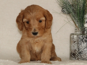 Lance - Goldendoodle Puppy For Sale