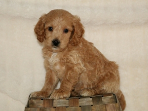 Duke - F1 Mini Goldendoodle Puppy For Sale