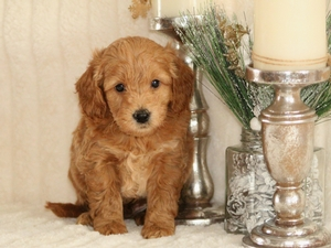 Bear - F1 Mini Goldendoodle Puppy For Sale
