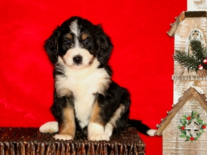 Carmel - F1 Mini Bernedoodle Puppy For Sale