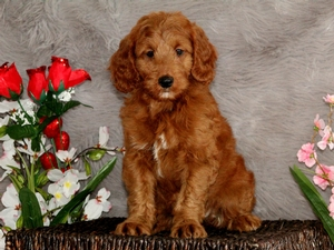 Rosie - F1B Mini Goldendoodle Puppy For Sale