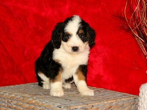 Sophie - F1Mini Bernedoodle Puppy For Sale