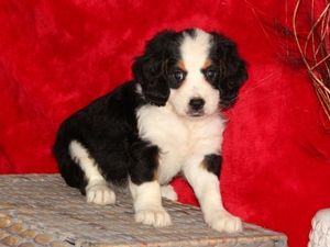 Hailey- F1Mini Bernedoodle Puppy For Sale