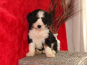 Sunny - F1 Mini Bernedoodle Puppy For Sale