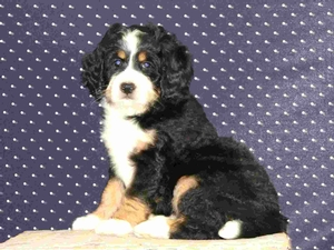 Annie - F1 Mini Bernedoodle Puppy For Sale