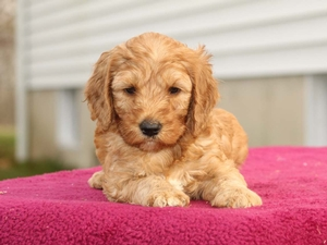Jackson  - Mini Goldendoodle Puppy