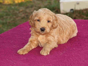 Mia - F1 Tiny Goldendoodle Puppy for Sale in Illinois
