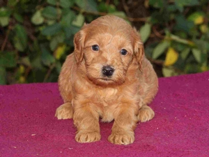 Samantha - F1 Tiny Goldendoodle Puppy for Sale in Illinois