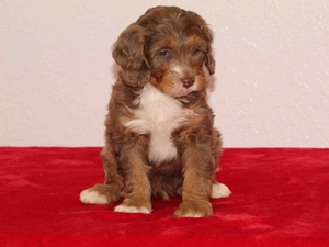 Dan - F1B Tiny Bernedoodle Puppy For Sale