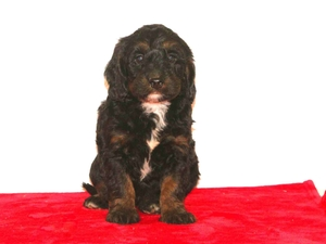 Eric - F1B Tiny Bernedoodle Puppy For Sale