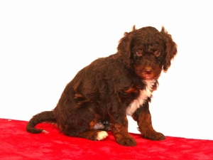 Nate - F1B Tiny Bernedoodle Puppy For Sale