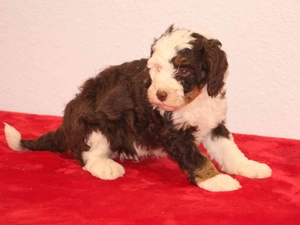 James - F1B Tiny Bernedoodle Puppy For Sale