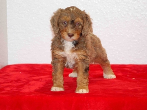 Sue - F1B Tiny Bernedoodle Puppy For Sale