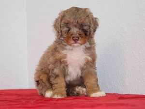 Starla - F1B Tiny Bernedoodle Puppy For Sale