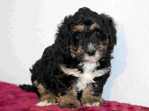 Caleb - Tiny Bernedoodle Puppy