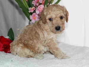 Bix - Tiny Goldendoodle in Illinois