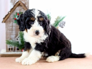 Barney - Mini Bernedoodle Puppy in Illinois