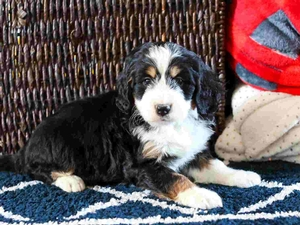 Amelia - Mini Bernedoodle Puppy For Sale in Illinois
