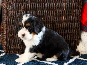 Eleanor - Mini Bernedoodle Puppy For Sale in Illinois