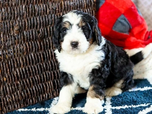 Marley - Mini Bernedoodle Puppy For Sale in Illinois