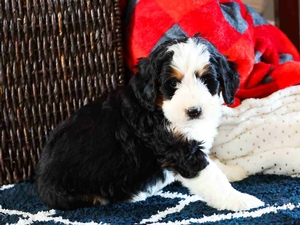 Naomi - Mini Bernedoodle Puppy For Sale in Illinois