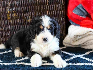 Victoria - Mini Bernedoodle Puppy For Sale in Illinois