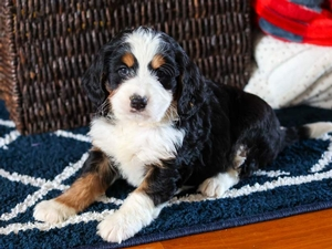 Violet - Mini Bernedoodle Puppy For Sale in Illinois